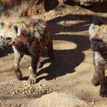 Spot the new hyenas at Emerald's Animal World